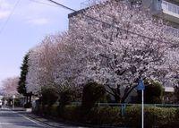 Maenosakura